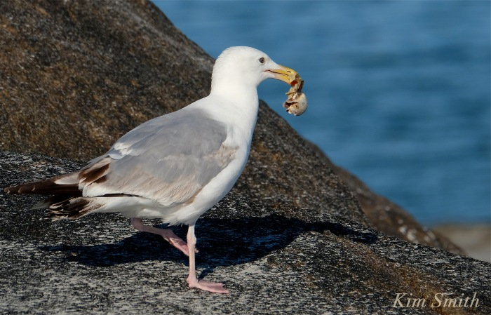 Gull eating crab copyright kim Smith