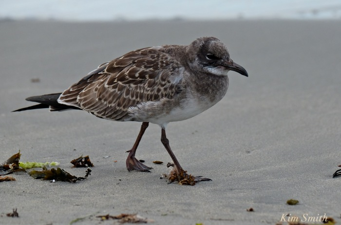 Juvenile Laughing Gull copyright Kim Smith