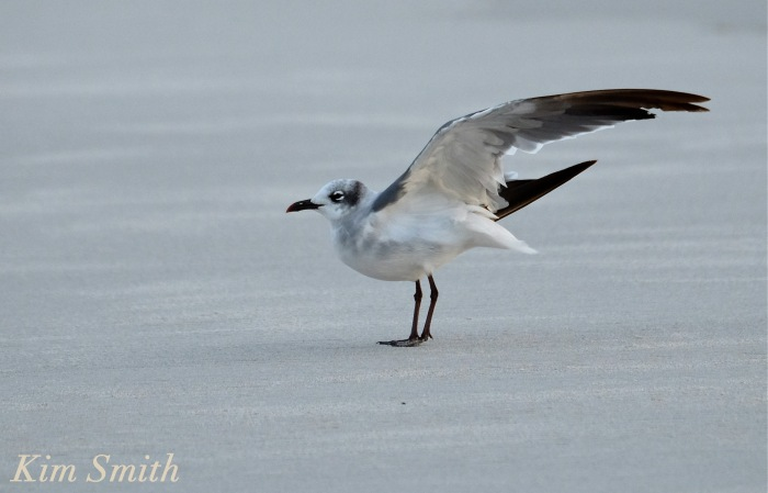 Laughing Gull copyright Kim Smith