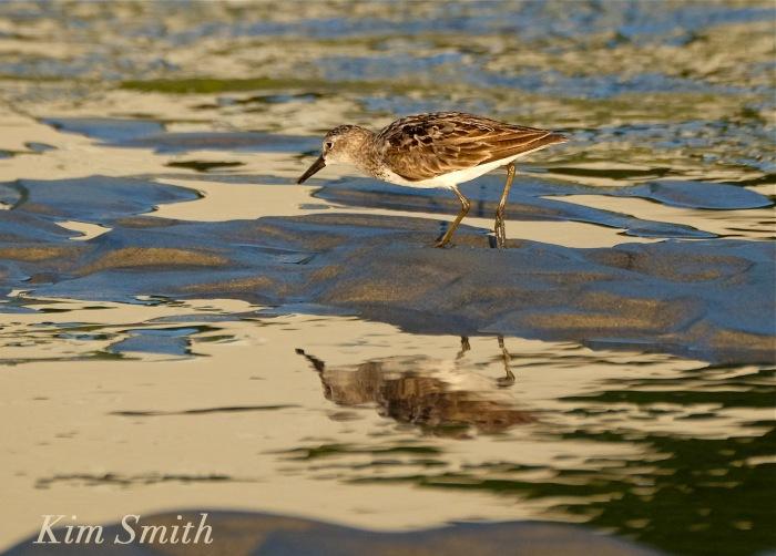 Least Sandpiper Good Harbor Beach Gloucester Massachusetts copyright Kim Smith