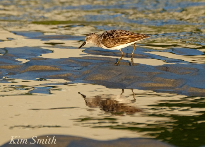 Least Sandpiper Good Harbor Beach Gloucester Massachusetts copyright Kim Smith