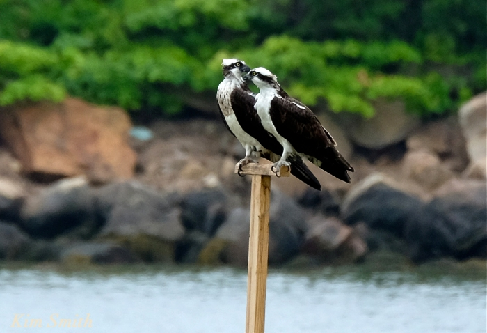 Male female Osprey -3 copyright Kim Smith