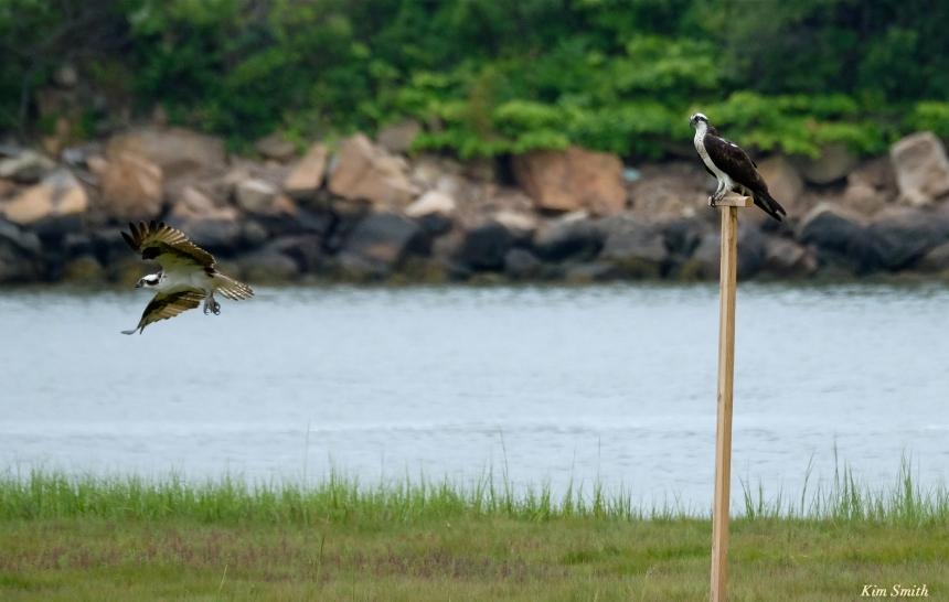 Male Female Osprey -4 copyright Kim Smith