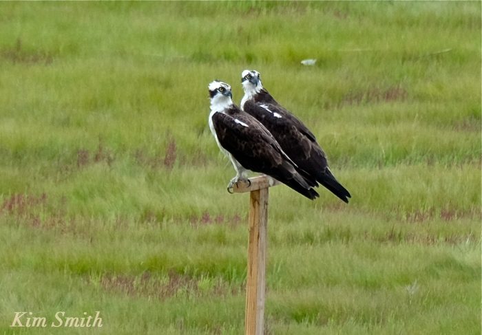 Male female Osprey copyright Kim Smith