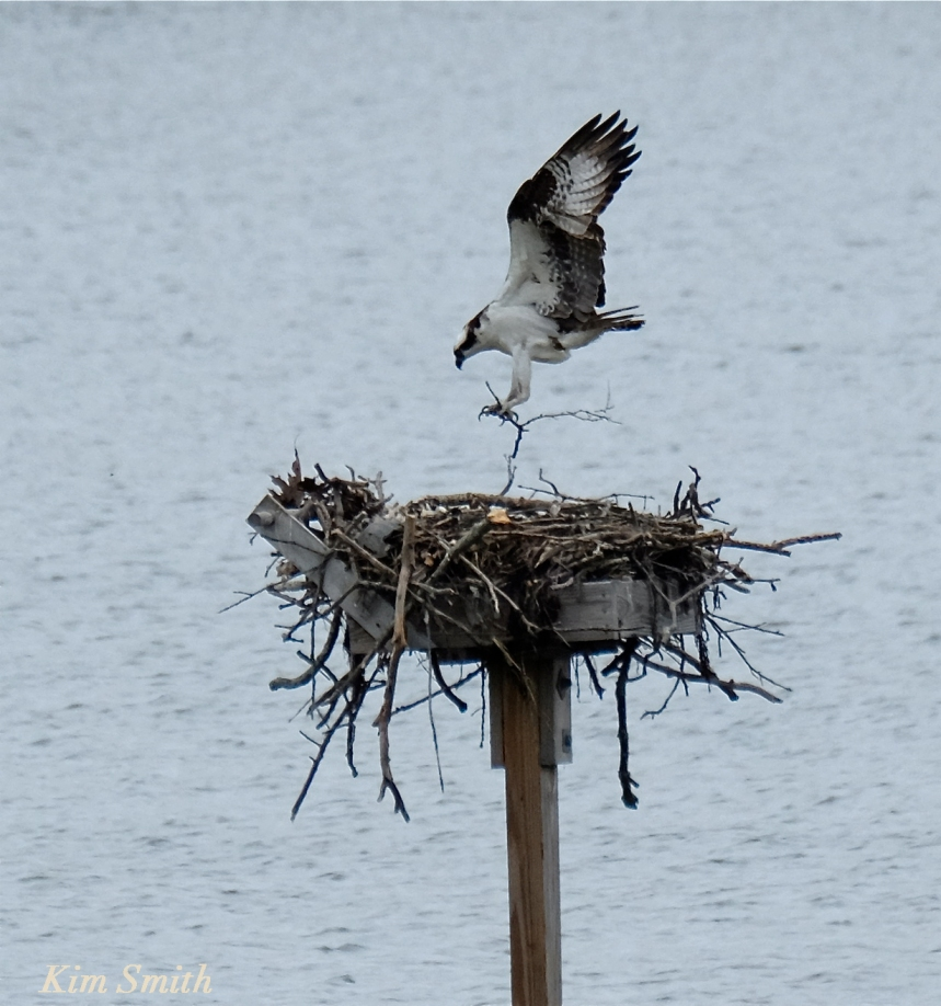 Male Osprey copyright Kim Smith