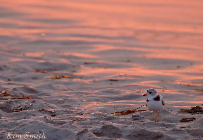Male Piping Plover Good Harbor Beach Gloucester copyright Kim Smith
