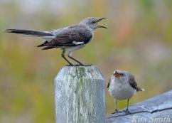 Mockingbird copyright Kim Smith