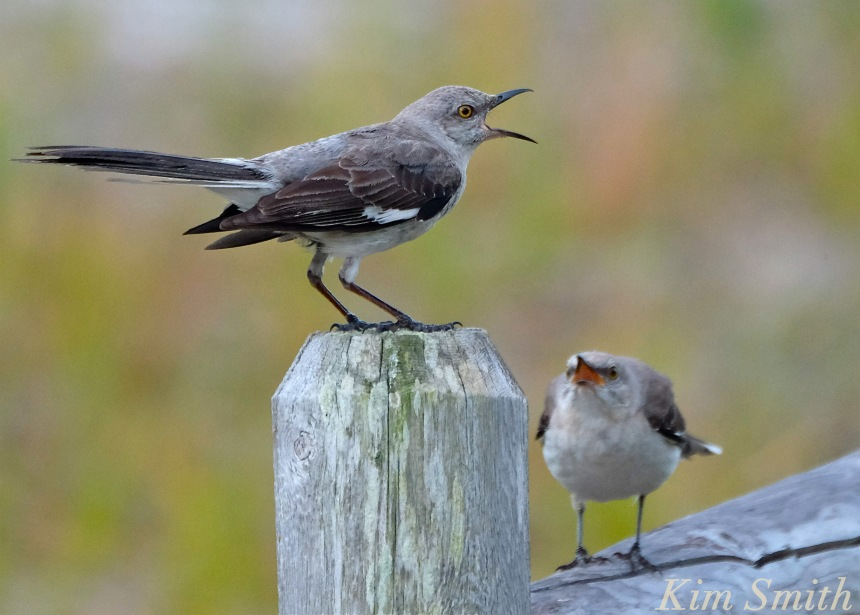 Mockingbird copyright Kim Smith