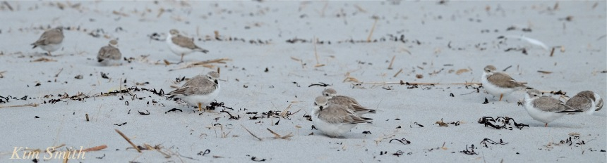 Nine Piping Plovers napping Gloucester copyright Kim Smith