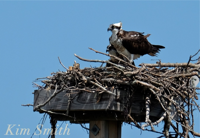 Osprey and fledgling Annisquam Essex County copyright Kim Smith