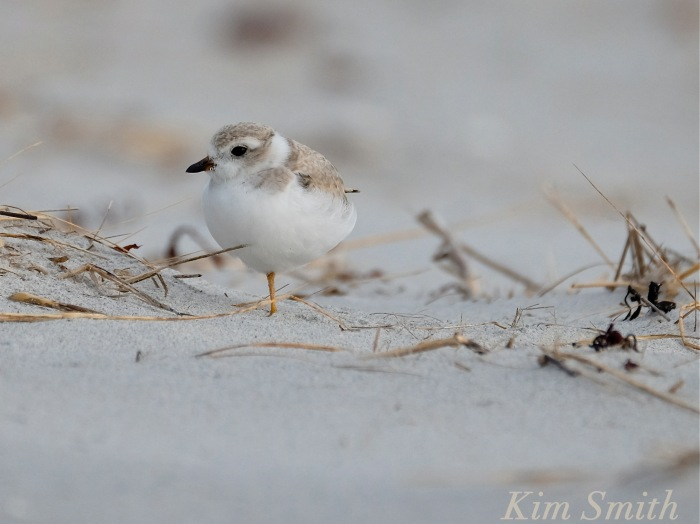 Piping Plover fledgling standing on one leg copyright Kim Smith