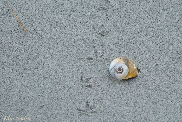 Piping Plover tracks copyright Kim Smith