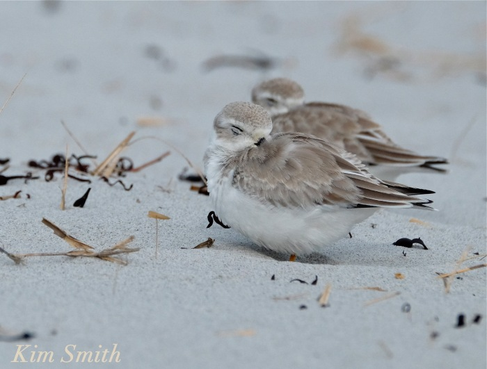 Piping Plovers napping Gloucester copyright Kim Smith