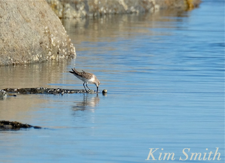 Red Knot bird copyright Kim Smith
