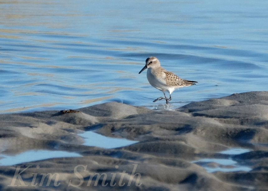 Red Knot non breeding plumage copyright Kim Smith
