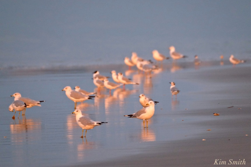 Ring-bille Bonaparte's Gulls copyright Kim Smith