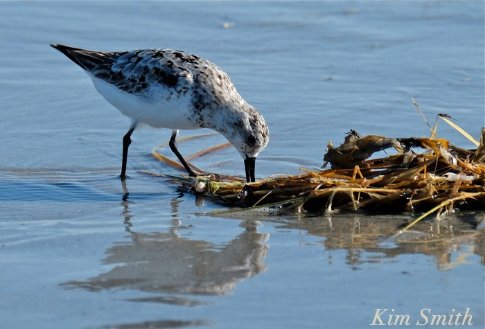 Sanderling copyright Kim Smith