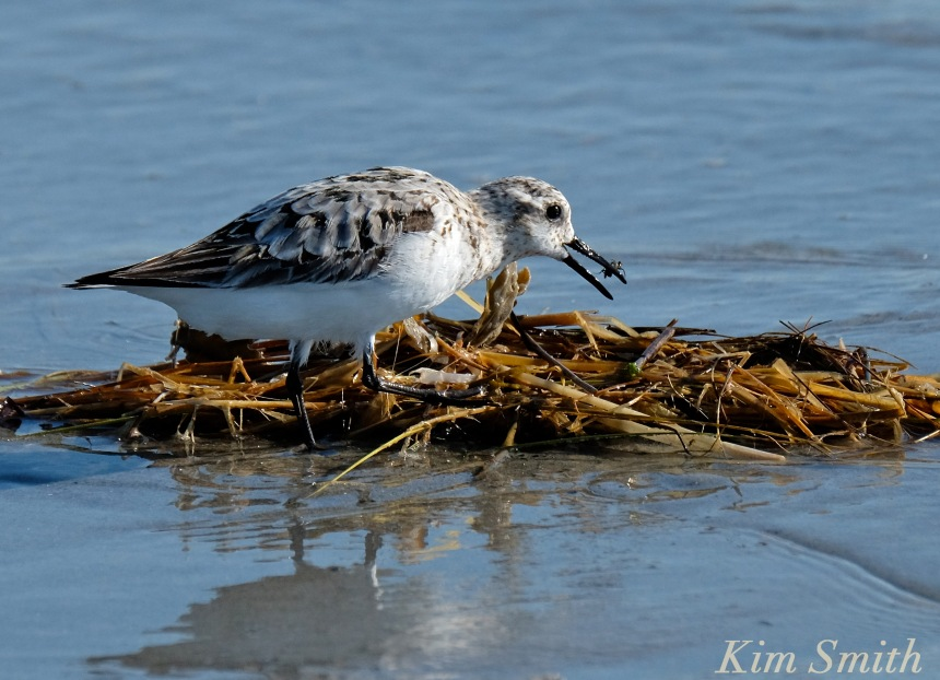 Sanderling eating insect copyright kim Smith