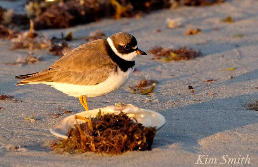 Semipalmated Plover copyright Kim Smith