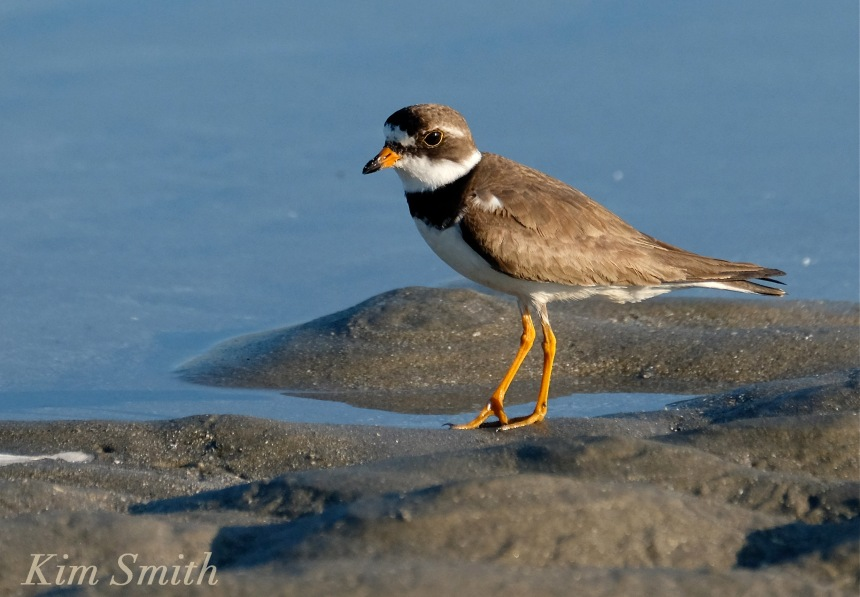 Semipalmated Plover Good Harbor Beach Gloucester Massachusetts -2 copyright Kim Smith