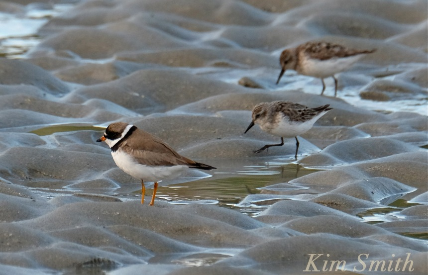 Semipalmated Plover Semipalmated Sandpiper Good Harbor Beach Gloucester Massachusetts copyright Kim Smith
