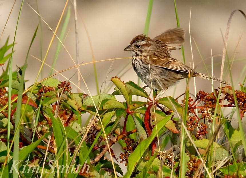 Song Sparrow Virginia creeper copyright Kim Smith