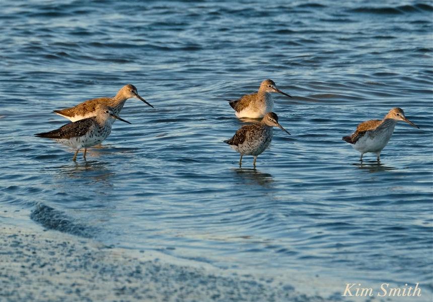 Yellow Legs bird Massachusetts copyright Kim Smith