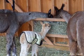 angies-alpaca-gloucester-massachusetts-3-copyright-kim-smith