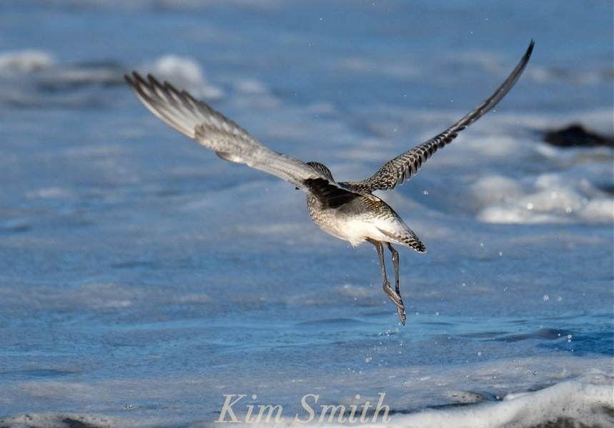 black-bellied-plover-grey-plover-in-flight-2-massachusetts-copyright-kim-smith