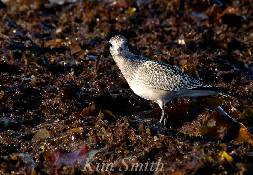 black-bellied-plover-grey-plover-massachusetts-copyright-kim-smith