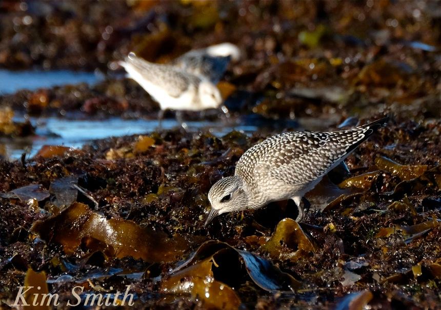 black-bellied-plover-grey-plover-sanderlings-4-massachusetts-copyright-kim-smith