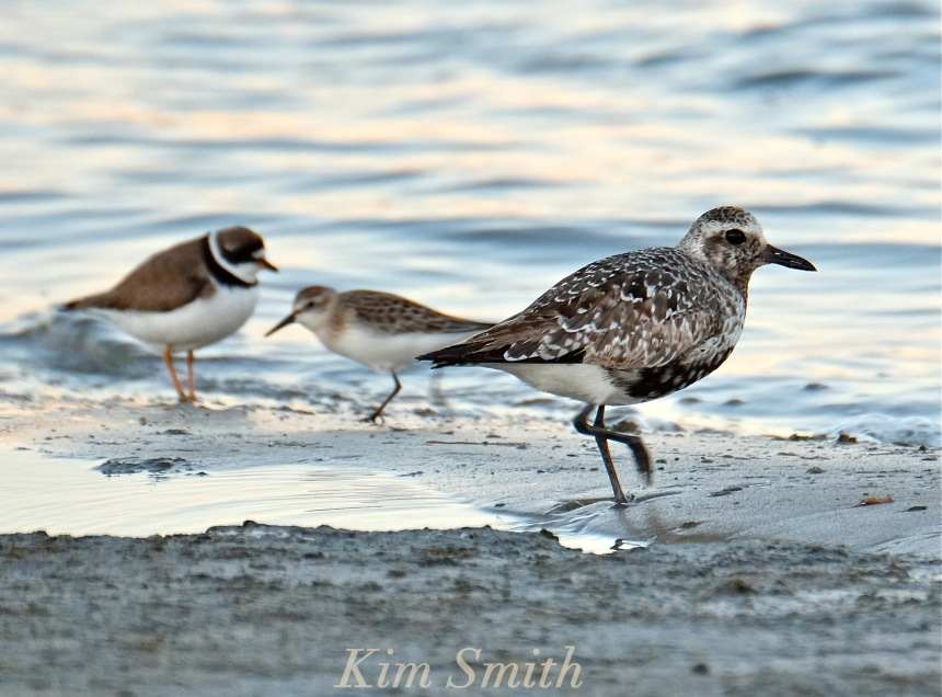 black-bellied-plover-grey-plover-semi-palmated-plover-sanderling-massachusetts-copyright-kim-smith