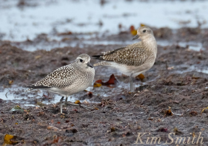 black-bellied-plover-massachusetts-copyright-kim-smith