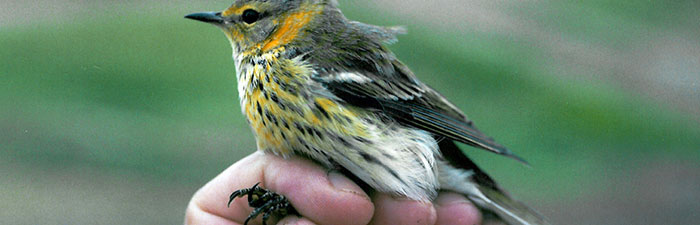 cape-may-warbler-birdbanding
