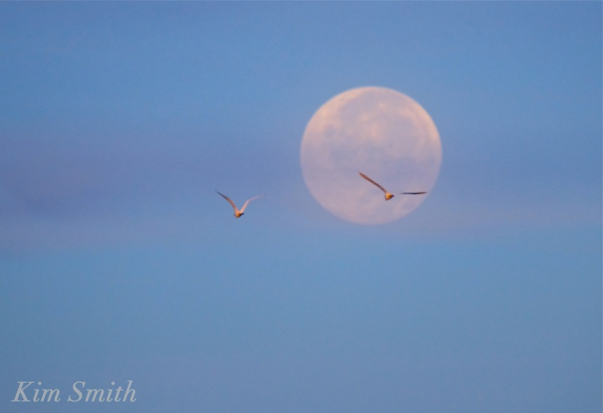 harvest-moon-set-snowy-egret-copyright-kim-smith