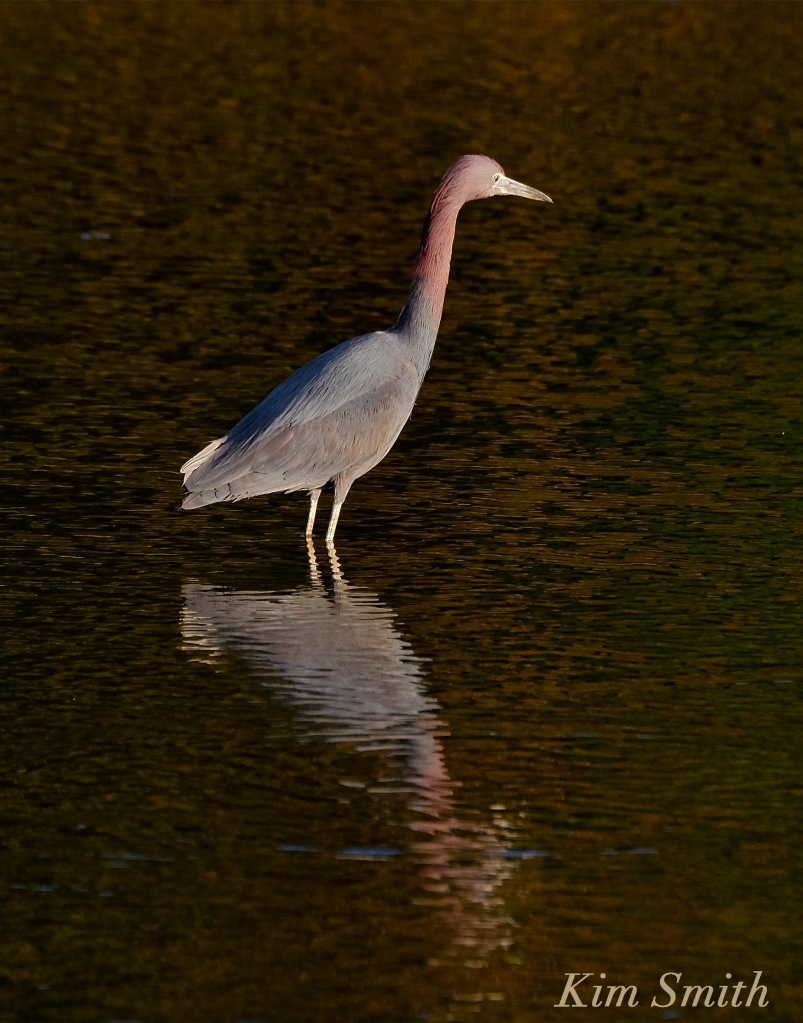 little-blue-heron-massachusetts-egretta-caerulea-copyright-kim-smith