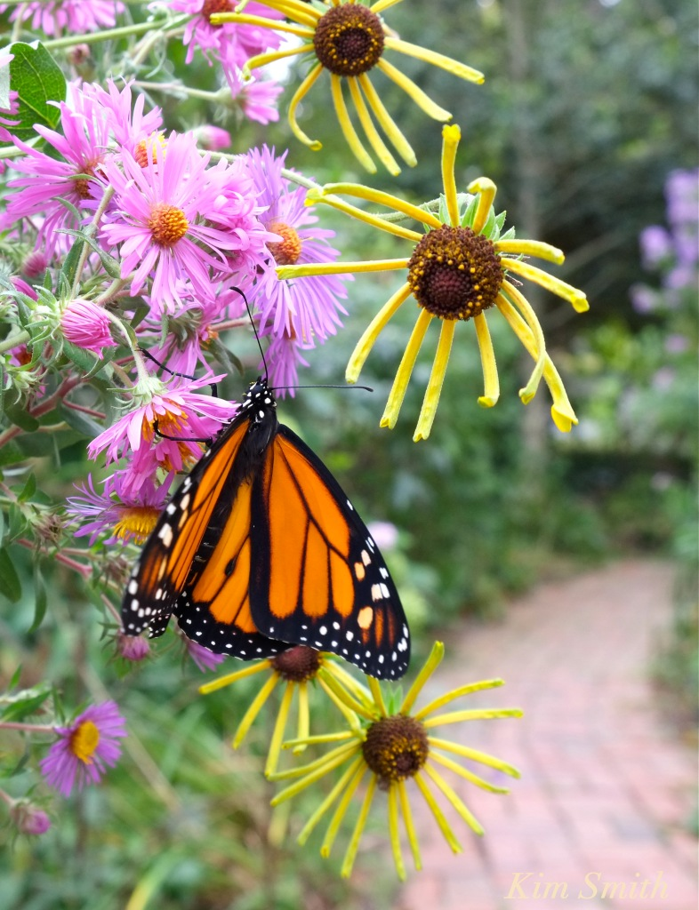 monarch-new-england-aster-coneflower-copyright-kim-smith