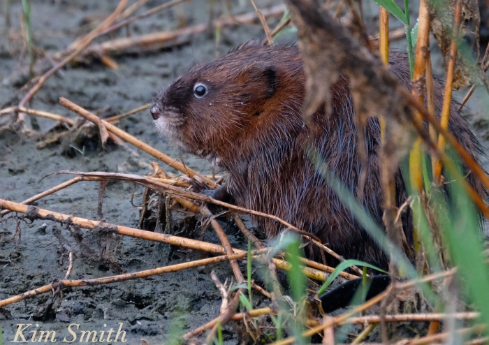 muskrat-massachusetts-copyright-kim-smith