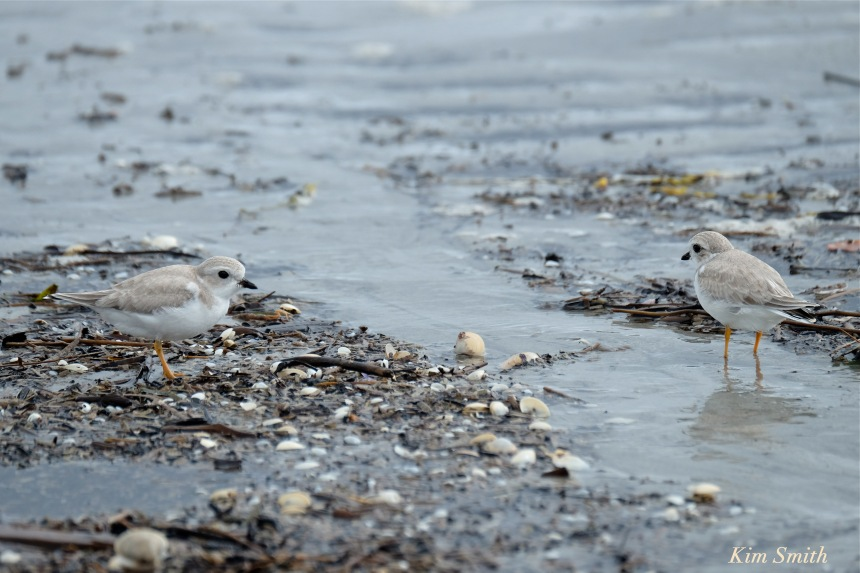 piping-plovers-hermine-afterstorm-copyright-kim-smith