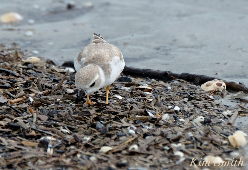 piping-plovers-hermine-eating-copyright-kim-smith