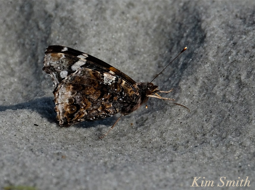 red-admiral-butterfly-beach-salts-copyright-kim-smith