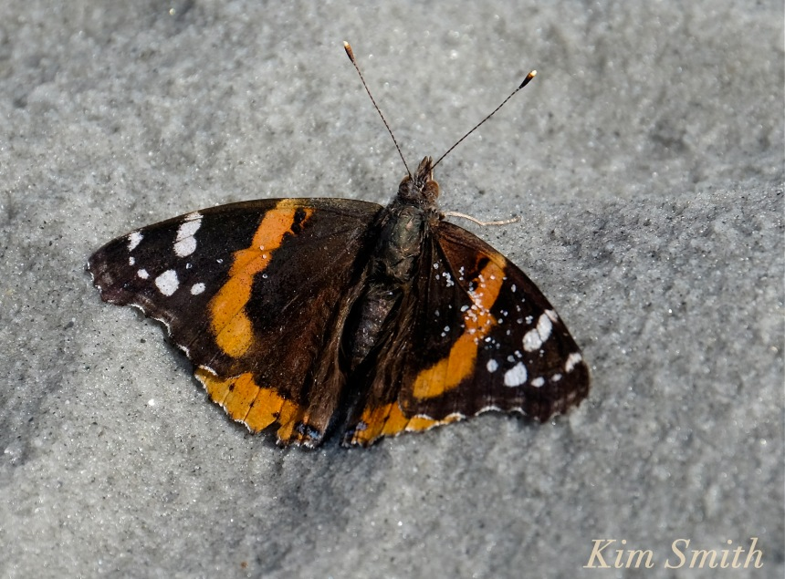 red-admiral-butterfly-warming-wings-copyright-kim-smith