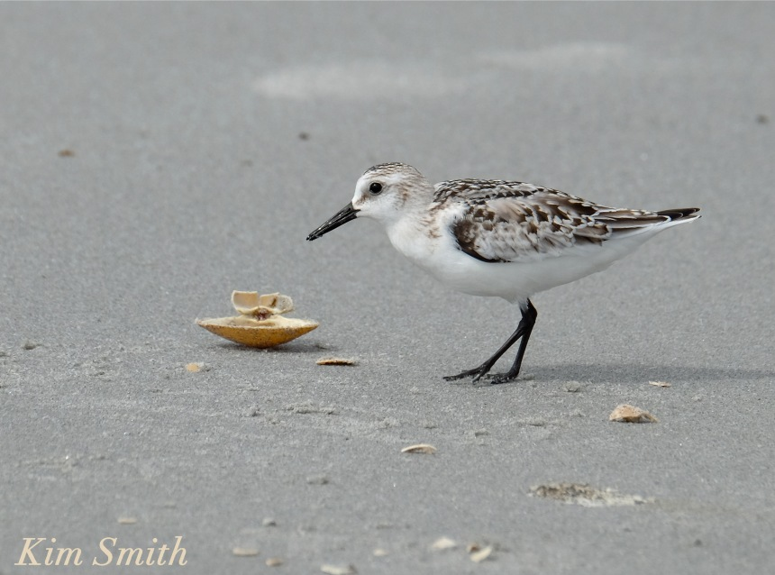 sanderling-eating-clam-copyright-kim-smith