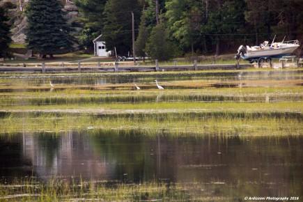 september-21-2016-egrets-behind-friendlys