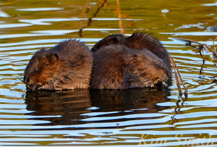 three-muskrat-family-massachusetts-copyright-kim-smith