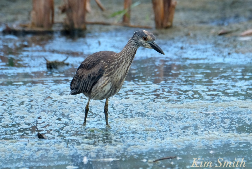 yellow-crowned-night-heron-immature-juvenile-massachusetts-2-copyright-kim-smith