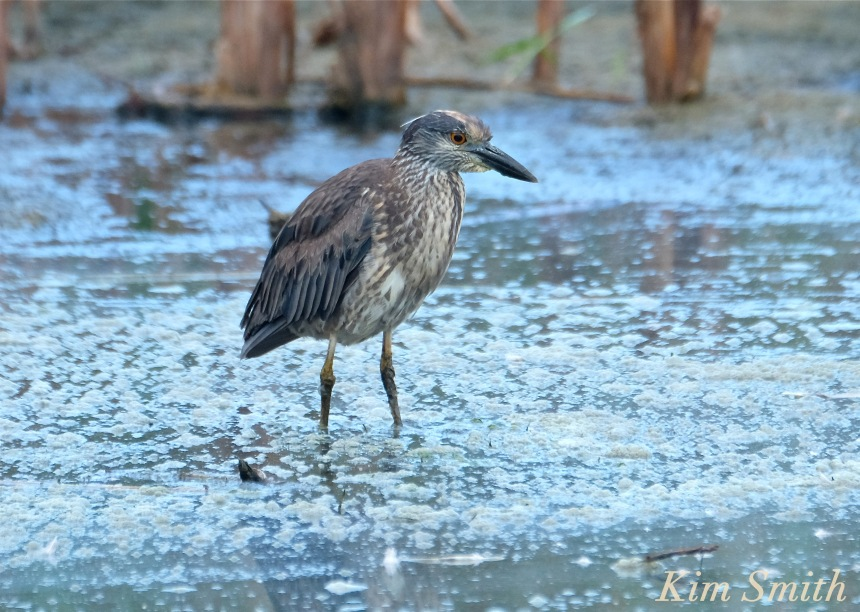 yellow-crowned-night-heron-immature-juvenile-massachusetts-copyright-kim-smith