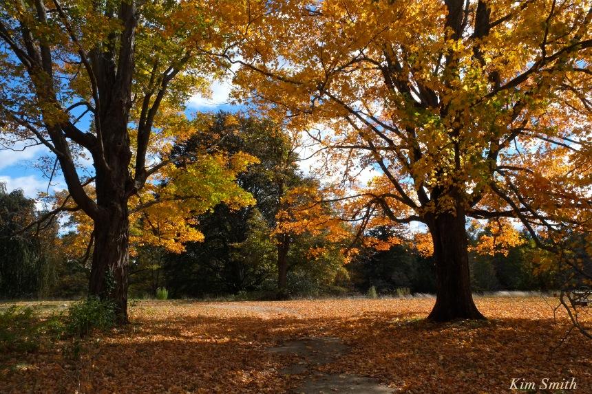 autumn-foliage-sugar-maples-copyright-kim-smith