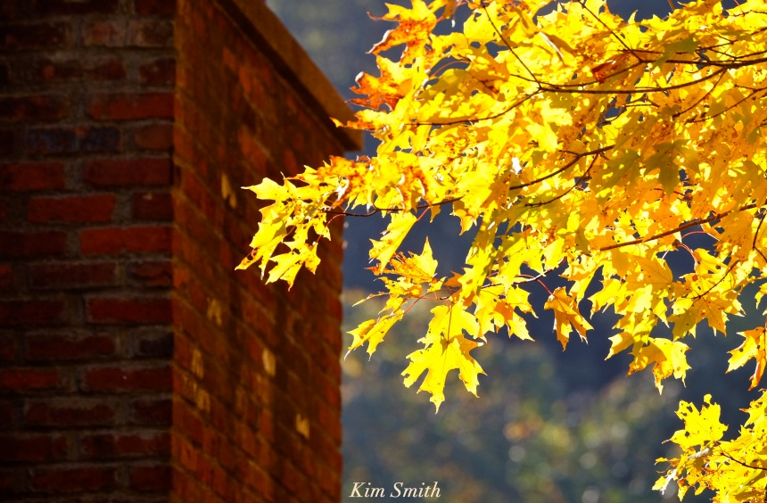 fall-foliage-maple-leaves-2-copyright-kim-smith