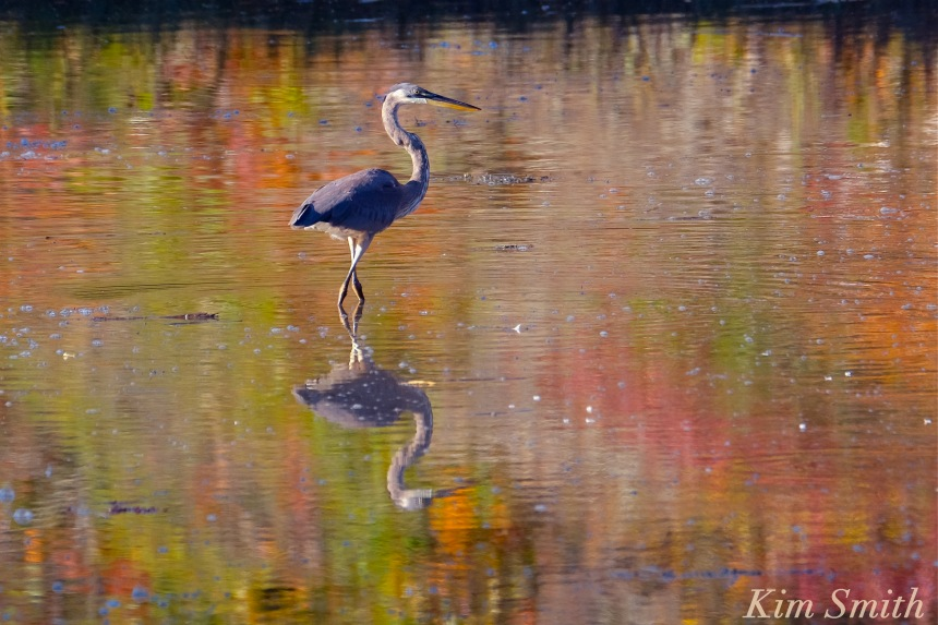 great-blue-heron-lobster-cove-copyright-kim-smith